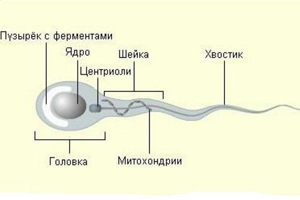 Состоящая из сперматозоидов секрета