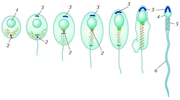 Этапы жизнедеятельности сперматозоидов от созревания до оплодотворения, или гибели
